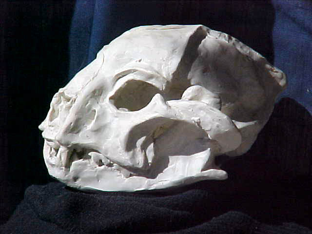 Dinaelurus illumina skull model