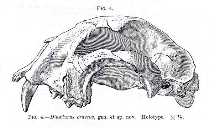 Dinaelurus Skull Drawing